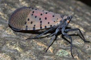 Spotted lanternfly adult 5jpg decb5f59866a839c